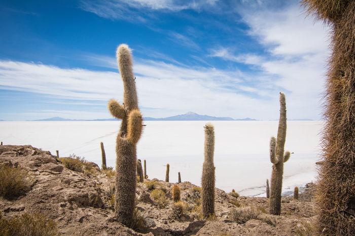 Isla Incahuasi - The Bolivian Salt Flats Arid Climate Beauty In Nature Blue Cacti Cactus Cactus Cactus Flower Cactus Garden Cactus Paradise Growth Isla Incahuasi Landscape Nature Non-urban Scene Outdoors Plant Remote Scenics Sky Tokina 11-16 Mm F/2,8 Tranquil Scene Tranquility Uyuni Uyuni - Island Of Salt Uyuni Salt Flat