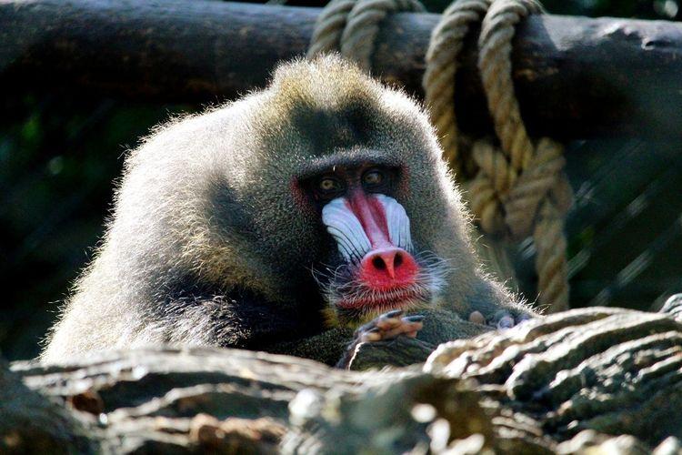 France 🇫🇷 Zoo De La Flèche EyeEm Selects Red Close-up Baboon Primate Chimpanzee