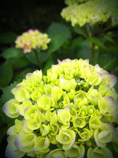 I also love hydrangea of this time flowers still young. Hygrangea Rainyseason Flower