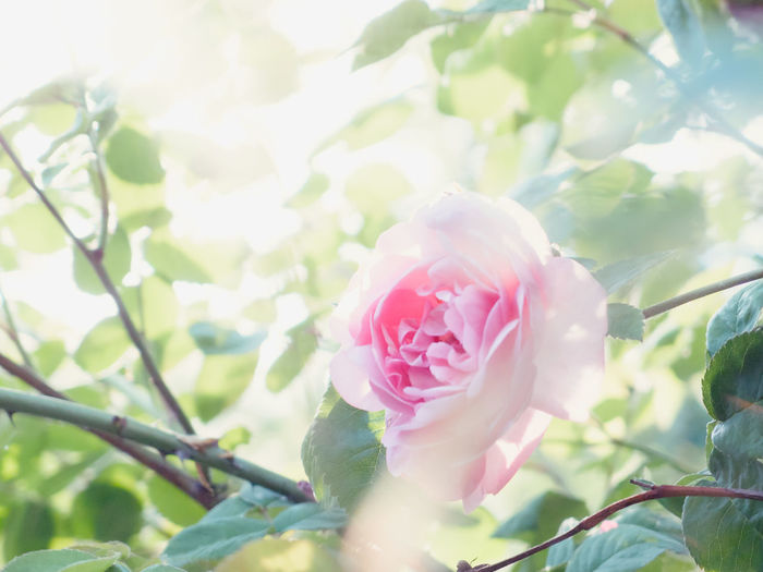 Beauty In Nature Blooming Blossom Tree Botanical Close-up Day Flower Flower Head Fragility Freshness Growth Leaf Light Nature No People Outdoors Petals Petals Of Roses Pink Color Plant Rose - Flower Summer Sunshine