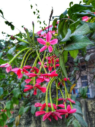 Hanging Garden 🌼☘️🌼 Beautiful Flowers Flowers Flower Photography Flower Flower Head Pink Color Red Leaf Close-up Plant Green Color Botany Plant Life Blossom Flowering Plant Focus Softness Summer Exploratorium