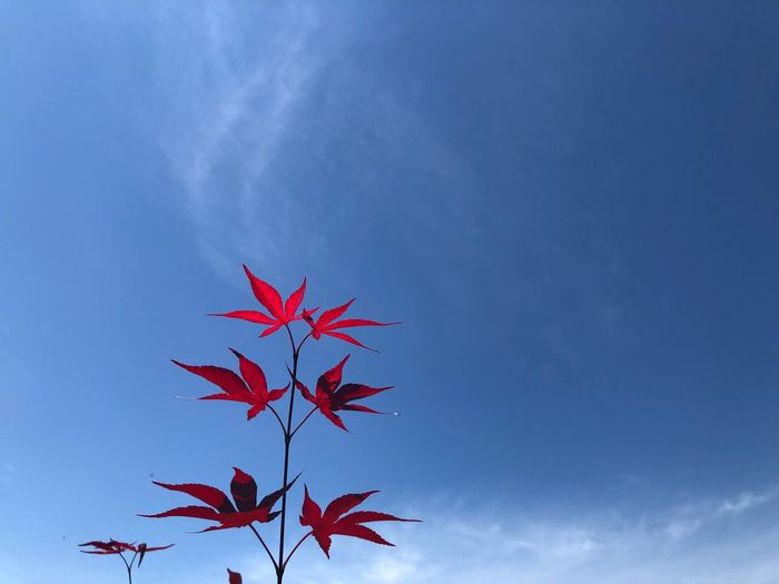 Autumn Leaf Plant Part Red Blue Sky Low Angle View Nature Maple Leaf Cloud - Sky Maple Tree Beauty In Nature Outdoors Change No People Branch Day Tree Plant Close-up