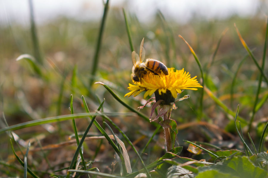 Animal Animal Themes Animal Wildlife Beauty In Nature Bee Bee And Flower Close-up Day Flower Fragility Grouth Insect Life Nature Pollination Wild Work Yellow