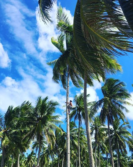 Climb to the sky and reap the rewards Palm Tree Coconut Climbing