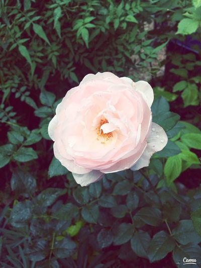 Flower Rose🌹 Photography First Eyeem Photo