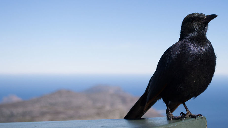 Close-up of black bird perching against sea and clear sky