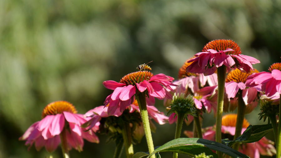 Close-up of bee on pink flowers blooming outdoors