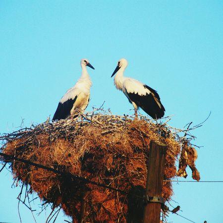 çanakkale Leylek Turkey Stork