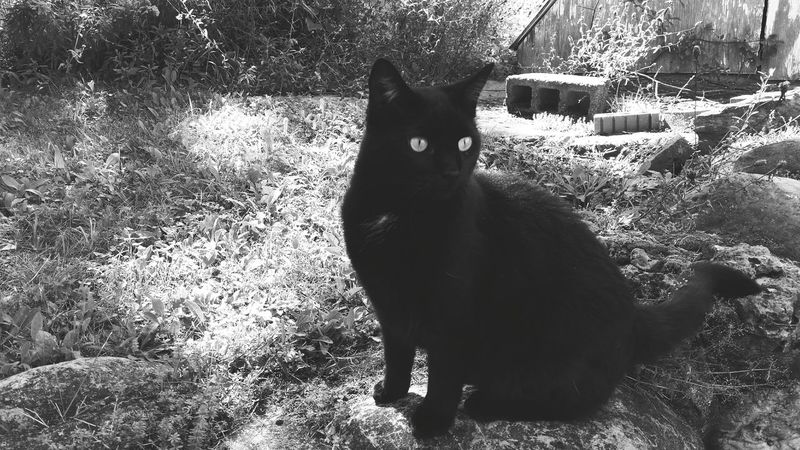 Black & White - She is a beautiful cat, and recently is loving posing for pictures. Stone Nature Cats Cat Lovers Nature_collection Black Cat Rockwall Scenery