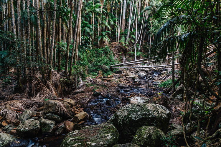 Mount Tamborine Beauty In Nature Day Flowing Water Forest Green Color Growth Land Nature No People Outdoors Plant Queensland Rainforest Rock Rock - Object Scenics - Nature Solid Stream - Flowing Water Tranquil Scene Tranquility Tree Tree Trunk Tropical Trunk WoodLand