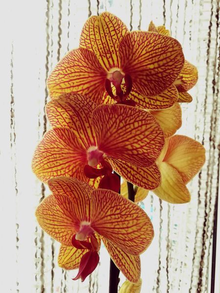 Flowers Petal Flower Freshness Phaleonopsis Orchidées Orchid Collection Orchid Obsession Orchid Love Popolari Popular Photos Queen Of Flowers Popolar  Pop Orchid Popolari EyeEmNewHere