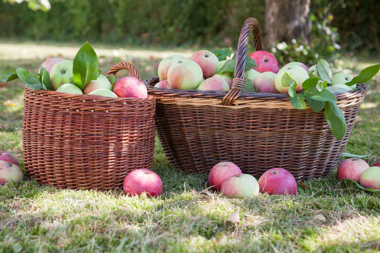 Autumn apples harvested in a basket Food Basket Container Freshness Healthy Eating Fruit Plant Day No People Nature Apple - Fruit Wellbeing Large Group Of Objects Outdoors Agriculture Autumn Farmer's Market Freshness Garden Grass Harvest Leaf Orchard Wicker Organic