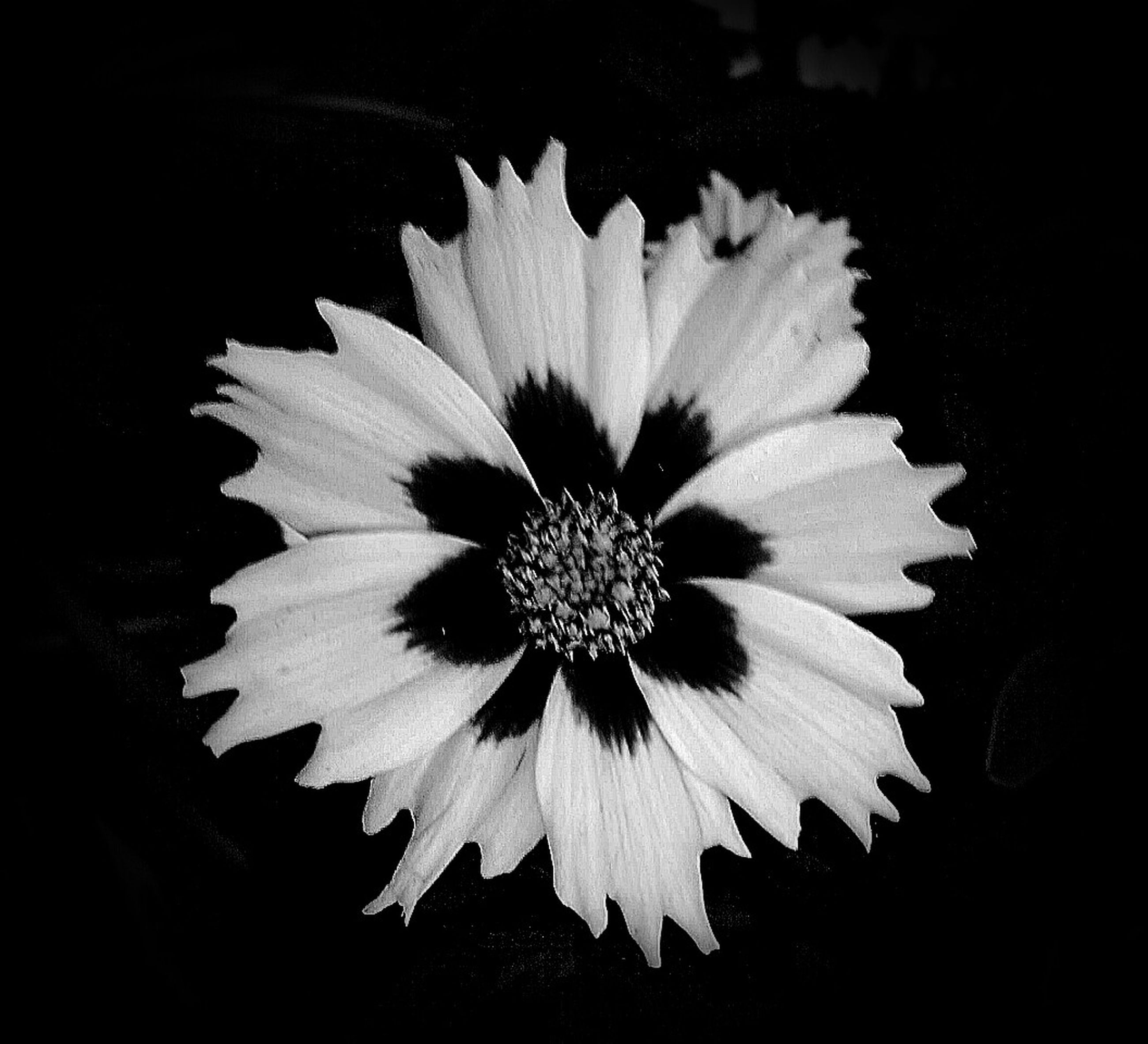 flower, petal, flower head, single flower, fragility, close-up, freshness, black background, studio shot, beauty in nature, growth, pollen, nature, blooming, no people, high angle view, plant, white color, focus on foreground, outdoors