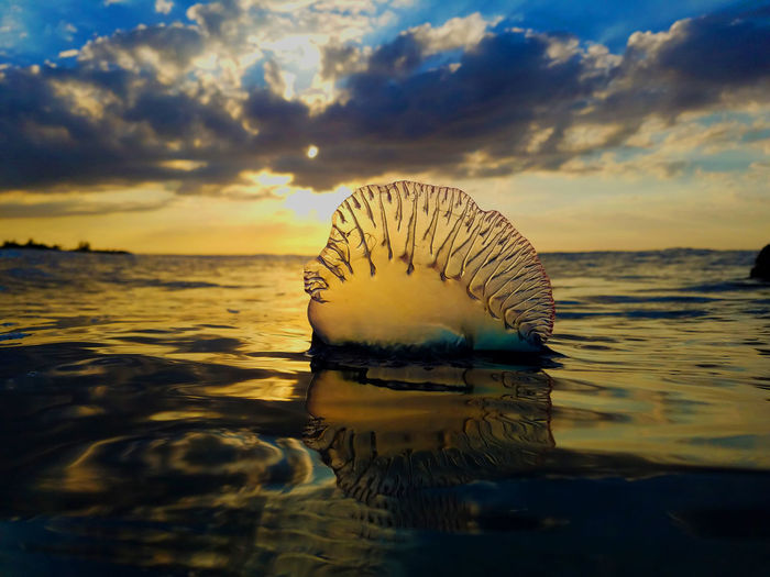 "a jellyfish in spanish called ""barquito portugués"" Jellyfish Barquito Portugués Sea Reflection Water Sunset Nature Cloud - Sky Sun Beauty In Nature Multi Colored No People Outdoors"