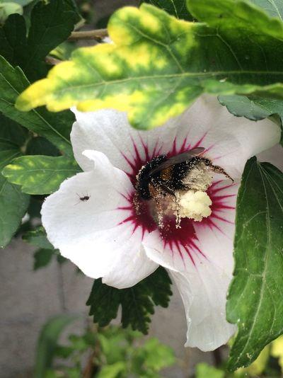 Bee on Flowers in Garden Garden Photography IPhoneography Bee On Flower Nature Nature Photography Pollen Bee Collecting Pollen Summer South Of France Focus Maximum Closeness