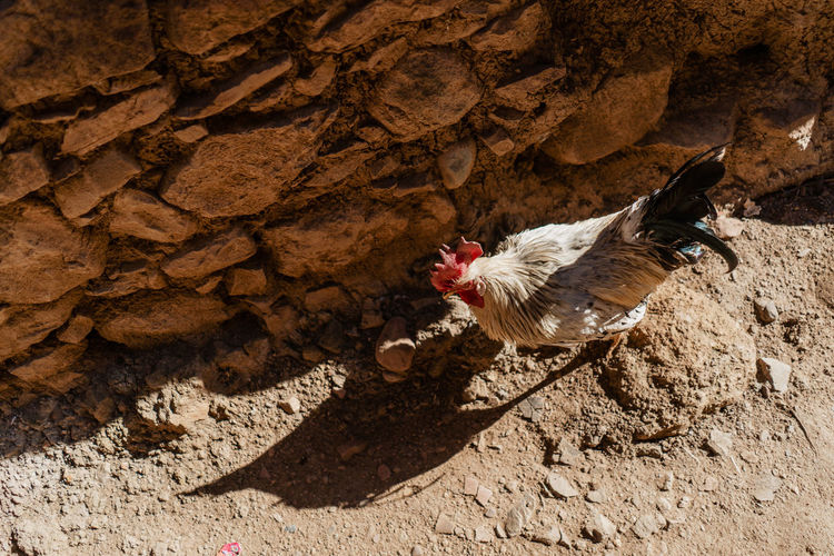 Marrakesh Marrakech Morocco Atlas Mountain Atlas Mountains Berber  Berbervillage Travel Destinations Travel Travel Photography Chicken - Bird Domestic Livestock Mammal One Animal Chicken High Angle View Sunlight No People Shadow Day Rock Outdoors Bird Animal