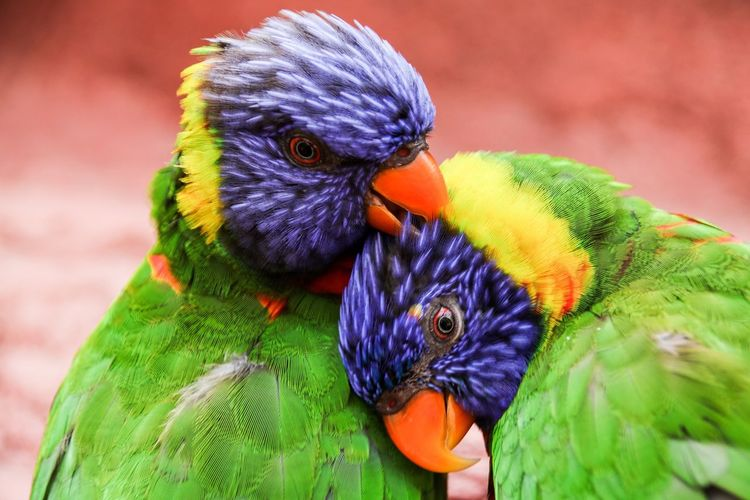 Only the lovely Beauty In Nature Nature Photography Nature_collection Nature Pair Of Birds Rainbow Lori Parrot Animal Animal Themes Vertebrate Multi Colored Animal Wildlife Bird Animals In The Wild Rainbow Lorikeet Focus On Foreground Nature Beauty In Nature Close-up Snout Zoology Wild Animal Perching Tropical Bird Avian Beak Two Animals