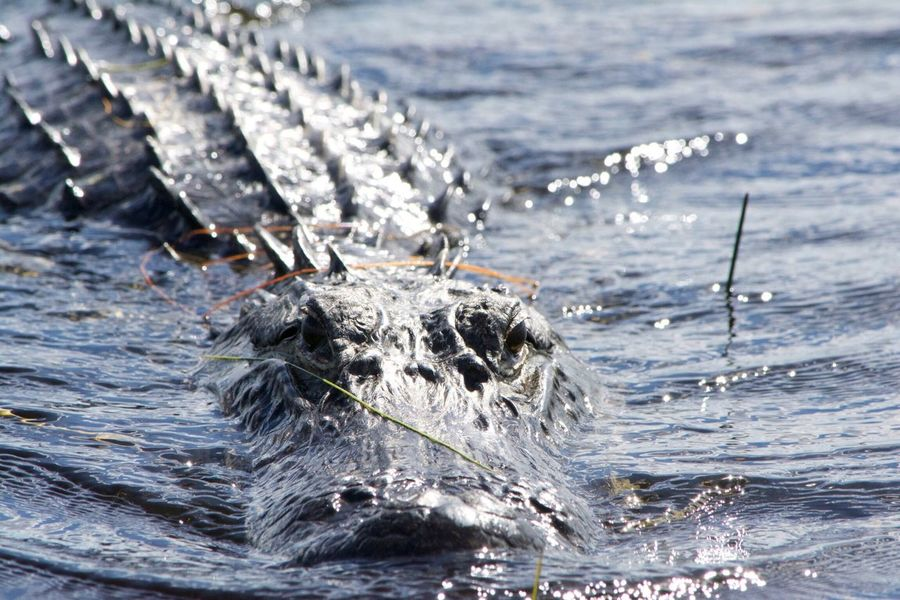 Alligator Miami Florida Life Wildlife