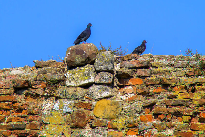 Pigeons on the wall Architecture No People Day Animal Themes Bird Low Angle View Brick Wall Pigeons