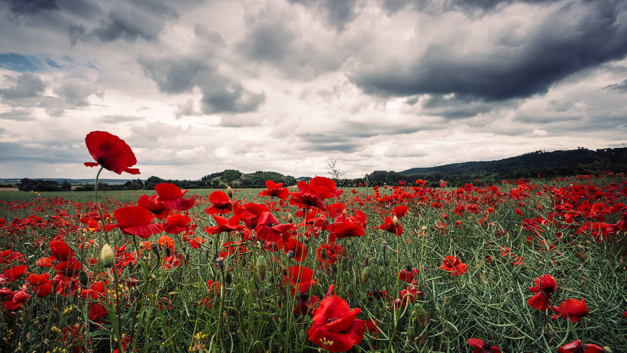 Red Poppy Flowers Blooming On Field Against Sky