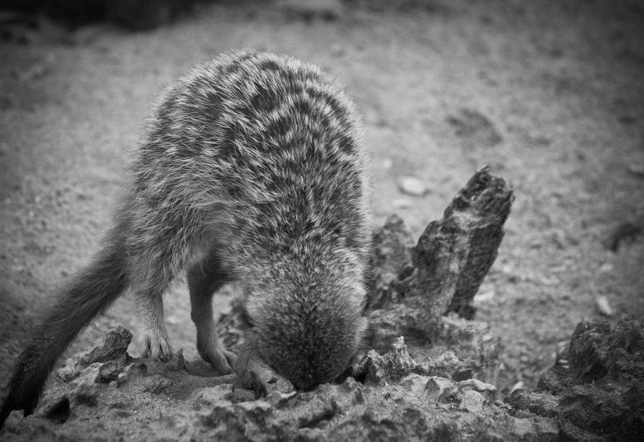 one animal, animal themes, animals in the wild, mammal, animal wildlife, focus on foreground, no people, outdoors, day, close-up, nature, hedgehog