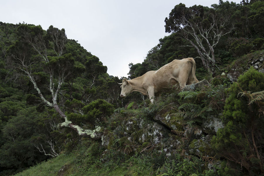 Azores EyeEm Nature Lover EyeEmNewHere Portugal São Jorge Animal Themes Animals In The Wild Cold Temperature Cow Cow In A Field Cow In A Mountain Day Mammal Nature No People Outdoors Sky Tree