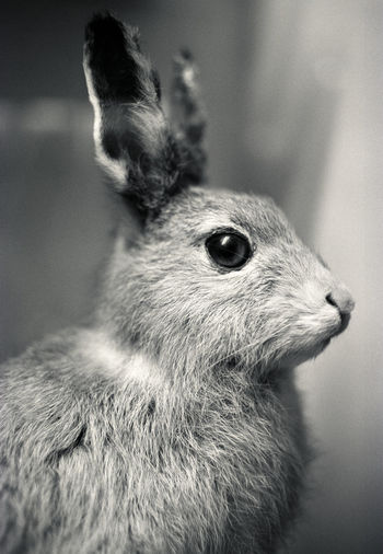 Close up of a stuffed hare or rabbit. Animal Themes Animal Wildlife Antique Black&white Close-up Day Display Eye Focus On Foreground Fur Hare Hunted Indoors  Mammal Museum Nature No People On Display One Animal Shot Sitting Taxidermy Waiting Watching