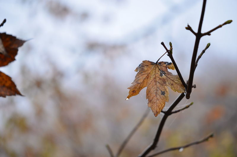 Close-up of dry leaf on twig