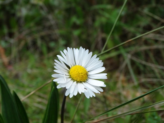 Beauty In Nature Blooming Blossom Close-up Daisy Day Flower Flower Head Focus On Foreground Fragility Freshness Growth Insect Nature No People Outdoors Petal Plant Pollen Pollination Springtime White Color Yellow