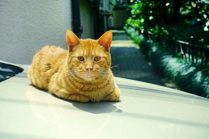 Portrait of cat resting on car hood