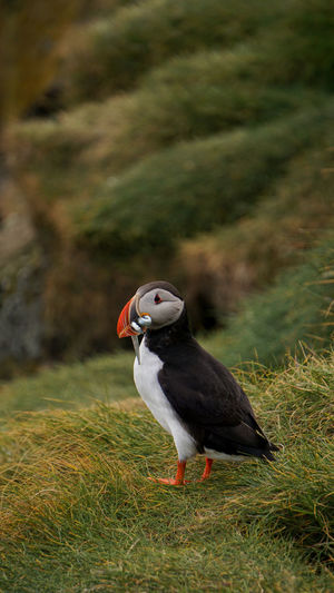 Puffin carrying saltwater eels in beak on grass