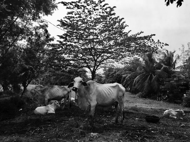Cow Monochrome Mono Cebu City Cebu Province Countryside Country Life Herd Animal Herd Of Cows Philippines BYOPaper! Perspectives On Nature