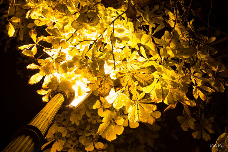 Autumn Beauty In Nature Berlin Change Glowing Illuminated Leaf Leaves Nature Night Sunbeam Tranquility Tree Yellow