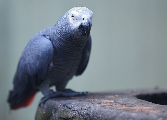 Close-up of african grey parrot perching on wood in cage