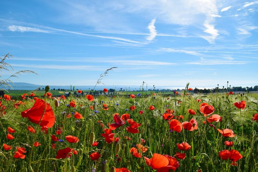 Flower Growth Field Nature Poppy Sky Beauty In Nature Red Plant Day No People Outdoors Fragility Tranquility Cloud - Sky Blue Freshness Scenics Blooming Flower Head Bodensee Mohnblume Mohnblumenfeld Bodenseebilder
