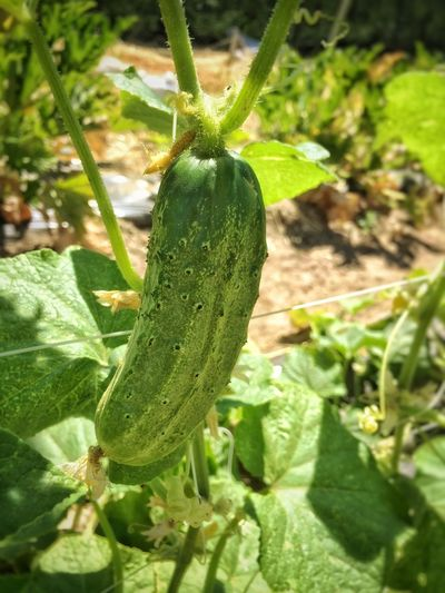 Close-up Cucumber Day Detail Focus On Foreground Fresh Freshness Fruit Green Green Color Growing Growth Hanging Leaf Nature New Life No People Outdoors Plant Ready To Pick Selective Focus Stem Trellis Vine