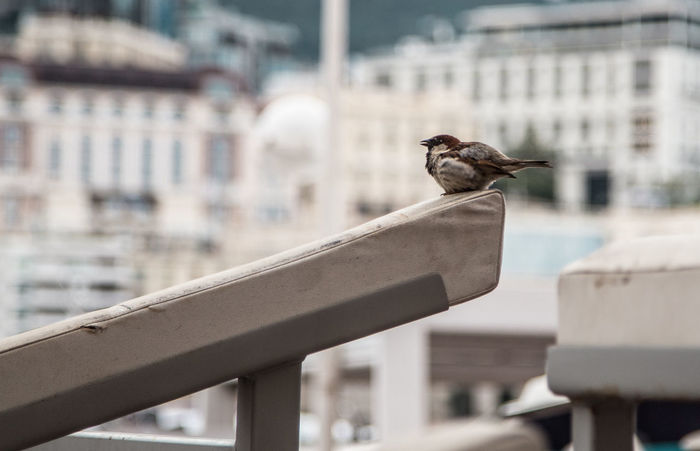 Animal Animal Themes Animal Wildlife Animals In The Wild Architecture Bird Building Building Exterior Built Structure City Day Focus On Foreground Mammal No People One Animal Outdoors Perching Railing Sparrow Vertebrate