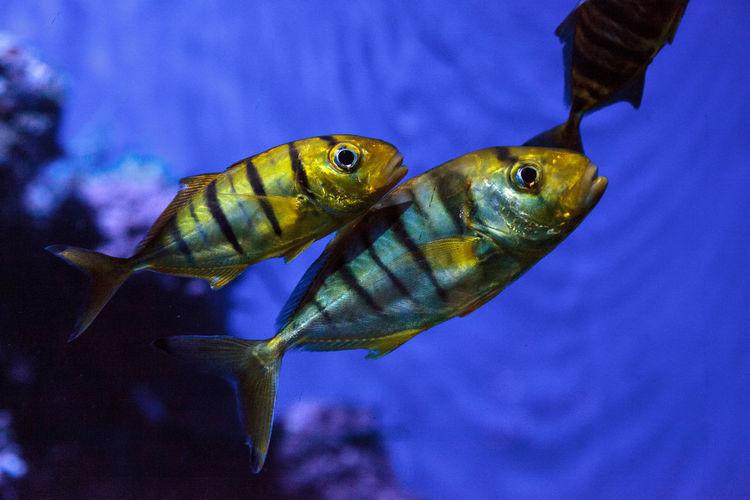 Golden Jack Gnathanodon speciosus swims in an aquarium. Animal Themes Aquarium Close-up Coral Reef Gnathanodon Speciosus Gold Gold Fish Golden Jack Nature No People Sea Life Swim Swimming Underwater Underwater Photography Water