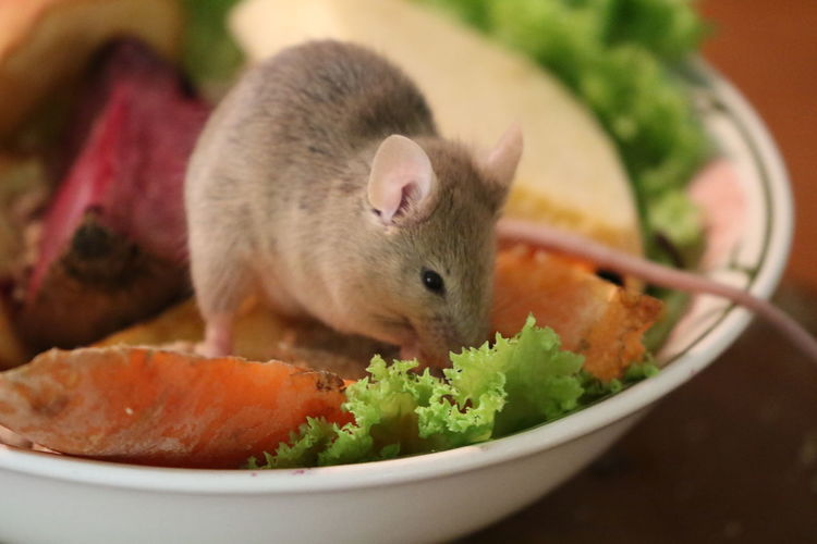 Close-up Domestic Animals Eating Food Food And Drink Mammal Mouse One Animal Unwanted Guest