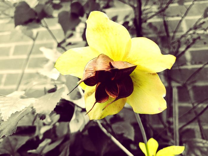 Chocolate Flower Nature Fragility Petal Beauty In Nature Growth Flower Head Plant Freshness Day Outdoors Close-up No People Yellow Leaf Chocolate Brown Paint The Town Yellow
