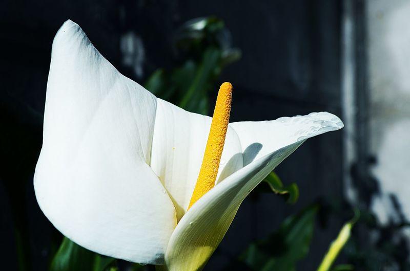 Close-up of calla lily