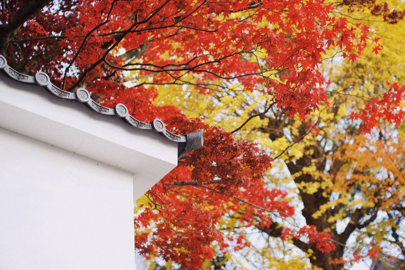 Yellow Red 知恩院 Kyoto ASIA Trip Sightseeing Japan 観光 寺 紅葉 京都 Architecture Autumn Change Tree Plant Orange Color Growth Beauty In Nature Built Structure Red Outdoors Plant Part