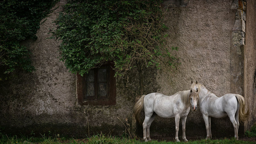 Horses standing against wall