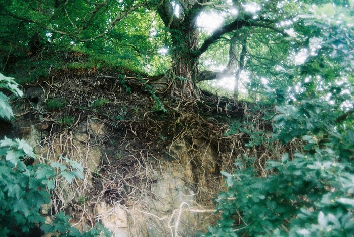 Backgrounds Beauty In Nature Branch Exposed Roots Forest Green Color Growth Low Angle View Nature No People Outdoors Roots Tranquility Tree Welsh