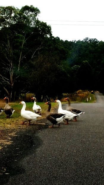 Eyem Nature Lovers  Geese Gathering Walking Across The Street Taking Photos In The Car Car Stops No People 😇😇😇