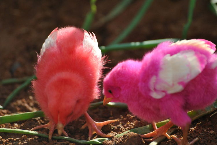 Plant Pink Color No People Outdoors Growth Close-up Nature Day Bird Animal Themes Fragility Colored Chicks
