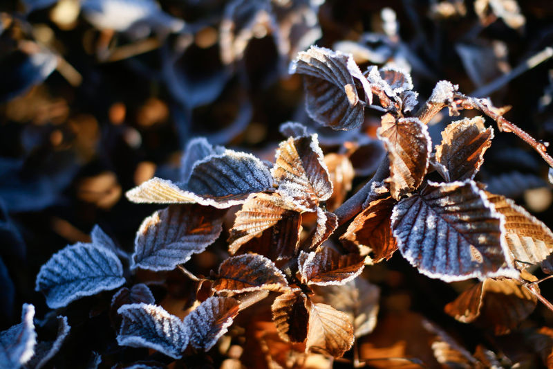 Frozen Leaves Autumn Leaves Golden Autumn Colours Beauty In Nature Close-up Cold Temperature Day Dry Focus On Foreground Fragility Frost Frost Designs Growth Leaf Leaves Nature No People Outdoors Plant Plant Part Selective Focus Sunlight Vulnerability  Wilted Plant Winter