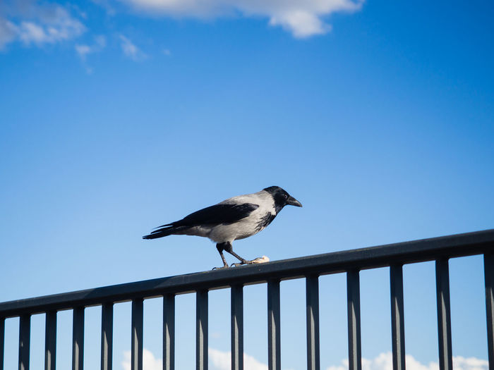 Bird Sky Animal Themes Vertebrate Animals In The Wild Animal Wildlife One Animal Animal Railing Day Blue No People Nature Low Angle View Perching Outdoors Clear Sky Barrier Side View Focus On Foreground Copy Space Blue Sky Clear Sky Crow Looking At Camera