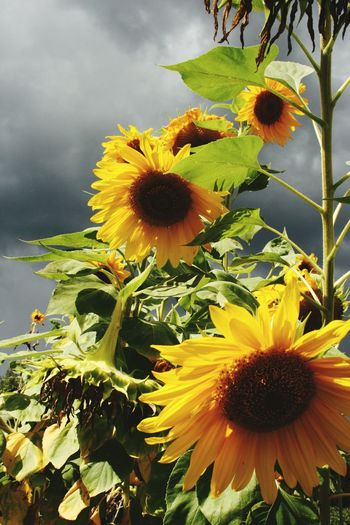Colour Of Life Sunflowers Sunflower Field Sunflower Plant Stormy Sky Stormyweather Stormy Clouds Colour Contrast Canada Flowers Big Flowers