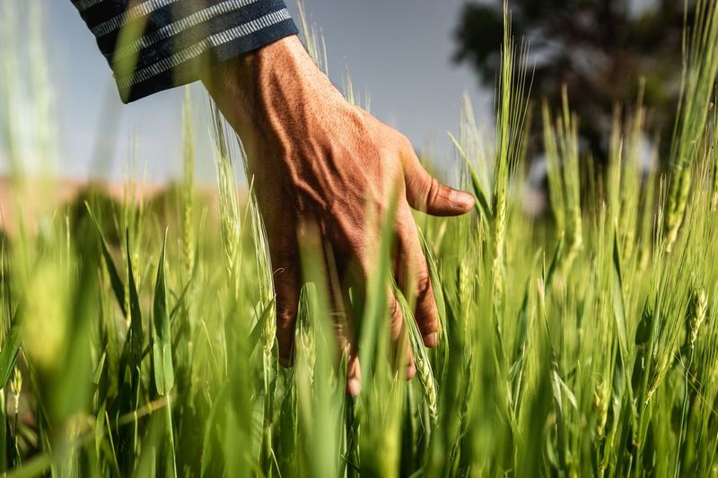 Calm Hand Hands Green Color Springtime Spring Morocco MoroccoTrip Wheat Wheat Field Grass Textured  Cereal Plant Rural Scene Agriculture Tree Wheat Field Sky Close-up Grass Plant Tall Grass Farm Agricultural Field Bale  Oilseed Rape Plantation Hay Bale Cultivated Ear Of Wheat